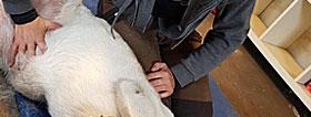 Vicerale teknikker Osteopati til hunde Myofasciale kæder