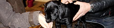 Labrador Retriever Hundehvalp Kent Ravn Staub Haderslev Kolding
